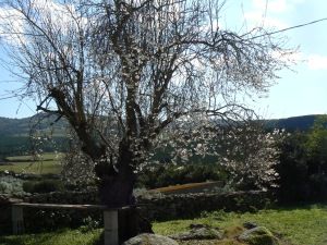 almond tree in bloom, taken end of February