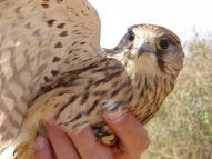A rescued kestrel !