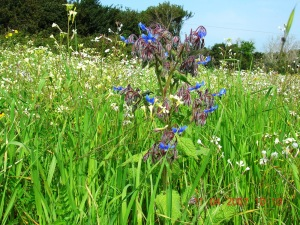Borage plant (edible flowers for starflower/borage oil)