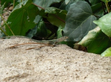 1 of the many lizzards about.