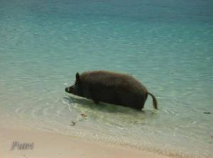 wild boar in sea