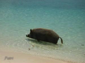 wild boar in sea
