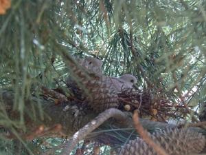 collared dove fledglings